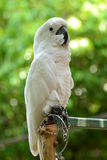 Gul-krönad kakadua arkivfoto