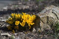 Gul krokus blommar i blom nära en sten Arkivfoton