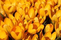 Gul krokus blommar i solljus Fotografering för Bildbyråer