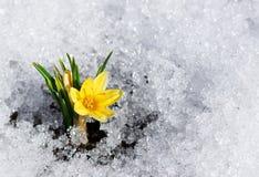 Gul krokus i snö Arkivfoton