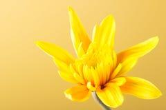 Gul krysantemum Royaltyfria Bilder