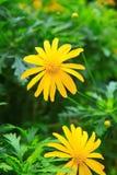 Gul krysantemum flower2 Arkivfoton