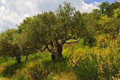Gul kvast med gamla Olive Trees Arkivbilder