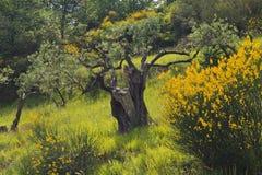 Gul kvast med gamla Olive Trees Royaltyfria Foton