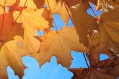 Gul lönn Autumn Leaves i Aberdeen Royaltyfri Fotografi