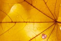 Gul lönnlöv i vattensmå droppar med en tillbaka ljus closeup höstlig prydnad Royaltyfria Bilder