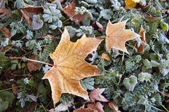 Gul lönnlöv med frost Royaltyfri Fotografi