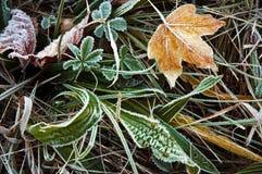 Gul lönnlöv med frost Royaltyfria Bilder