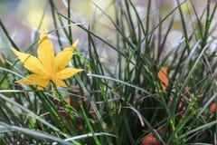Gul lönnlöv på gräs Arkivbild