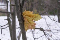 Gul lönnlöv på trädwhisten på bakgrunden av den första snön Royaltyfria Bilder