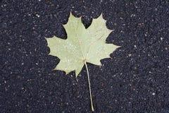 Gul lönnlöv som ligger på asfalt som strilas med den första snönedgången Royaltyfri Fotografi