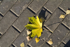 Gul lönnlöv som ligger på en grå trottoar i höst Fotografering för Bildbyråer