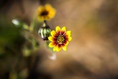 Gul lös blomma västra Australien Royaltyfri Bild