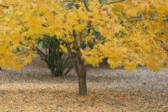 Gul lövverk på litet träd för sinlgle i nedgång Royaltyfri Bild