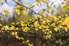 Gul lövverk på trädfilial mot bakgrund field bl?a oklarheter f?r gr?n vitt wispy natursky f?r gr?s arkivbild