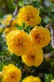 gul l?s rosa buske i blom Lodlinjen besk?dar fotografering för bildbyråer