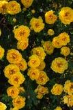 gul l?s rosa buske i blom Lodlinjen besk?dar arkivbilder