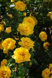 gul l?s rosa buske i blom Lodlinjen besk?dar arkivbild