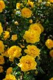 gul l?s rosa buske i blom Lodlinjen besk?dar arkivfoton
