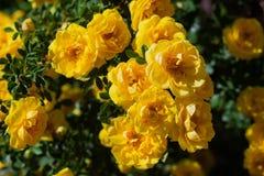 gul l?s rosa buske i blom royaltyfria bilder