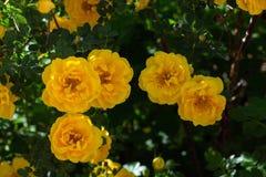 gul l?s rosa buske i blom arkivbild