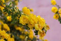 gul l?s rosa buske i blom arkivbilder