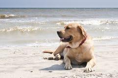Gul labrador som lägger på stranden royaltyfria foton