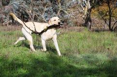 Gul labrador som spelar med en pinne royaltyfri fotografi
