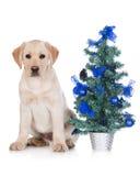 Gul labrador valp med ett julträd Royaltyfria Foton