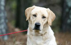 Gul labradorhund med amerikanska flagganbandanaen Royaltyfri Fotografi