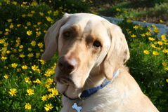 Gul labradorhund med gula blommor Royaltyfri Foto