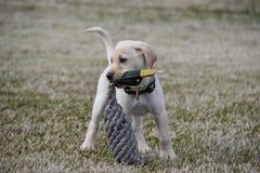 Gul labradorvalp med Duck Toy arkivbild