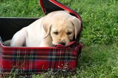 Gul labradorvalp som tuggar på en resväska Fotografering för Bildbyråer