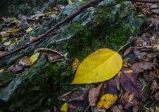 Gul Leaf Royaltyfri Fotografi