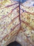 Gul Leaf Arkivbild