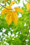 Gul Leaf Royaltyfri Foto