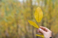 Gul leaf i kvinnahand arkivfoto