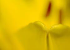 Gul lilja Royaltyfri Fotografi