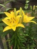 Gul lilja Arkivfoton