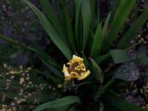 Gul lilja Royaltyfria Foton