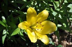 Gul lilja för singel (liliumen) Arkivfoto