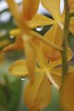 Gul lilja med daggdroppar, inomhus makro royaltyfri foto