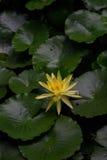 Gul lilja på gröna sidor Arkivfoton