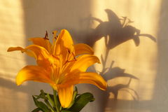 Gul liljablomma Arkivbilder