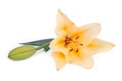 Gul liljablomma med en knopp som isoleras på vit Royaltyfri Fotografi
