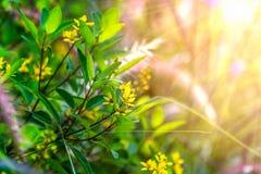Gul liten blommabuske med strålsolsken Fotografering för Bildbyråer