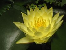 Gul lotusblomma Arkivfoton