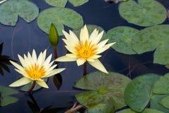 Gul lotusblomma Arkivbild