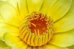 Gul lotusblomma Royaltyfri Bild