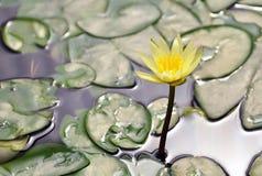 Gul lotusblomma Royaltyfri Foto
